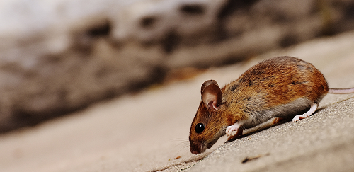 a mouse lying on the ground